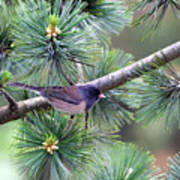 Dark-eyed Junco On A Pine Tree Poster