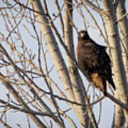 Dark-morph Western Red-tailed Hawks Poster