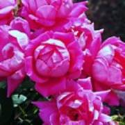 Dark Pink Roses Poster