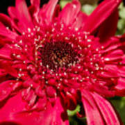 Dark Red Gerbera Daisy Poster