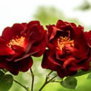 Dark Red Roses Poster