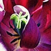 Dark Tulip Macro Square Format Poster