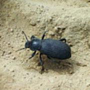 Darkling Beetle In Sand Poster