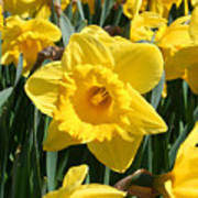 Darling Spring Daffodils Poster