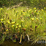 Darlingtonia Plants Grow Beside Poster