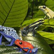 Dart-poison Frogs - Poison-dart Frogs Dendrobatidae - Baumsteiger Frosch - Pijlgifkikkers Poster