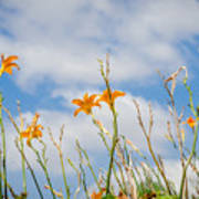 Day Lilies Look To The Sky Poster