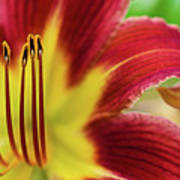 Day Lily Macro Poster