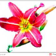 Day Lily No 2 Poster