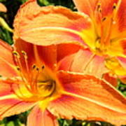 Daylillies In Bloom Poster