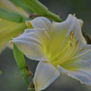 Daylily In Yard Poster