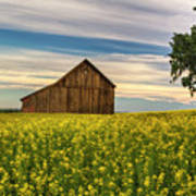 Dazzling Canola In Bloom Poster
