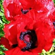 Dazzling Red Poppies Poster