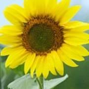 Dazzling Sunflower Poster