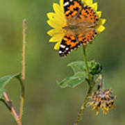 Ddp Djd Painted Lady On Sunflower 2690 Poster
