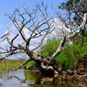 Dead Cedar Tree In Waccasassa Preserve Poster
