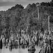 Dead Lakes Cypress Stumps Bw  Poster