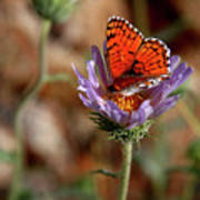 Death Valley Butterfly Poster