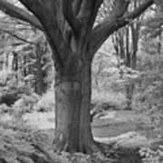 Deciduous Tree Ir Poster