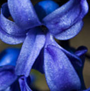 Deep Blue Flower Poster