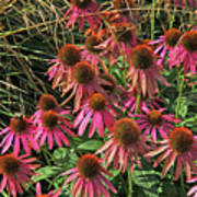 Deep Pink Echinacea Straw Flowers Green Leaf And Grass Background 2 9132017 Poster