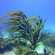 Deepwater Gorgonia Just Flowing In The Wind Poster