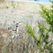 Deer 005 Poster