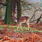 Deer Among The Ferns Poster