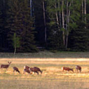 Deer At Kaibab Meadows Poster