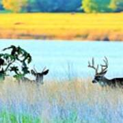 Deer At Sunset Poster