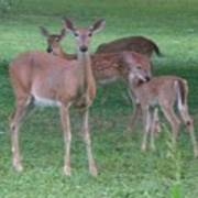 Deer Family Out For Evening Stroll Poster
