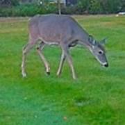 Deer Grazing In City Field Poster