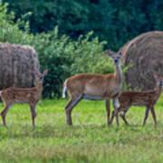 Deer In A Hay Field Poster