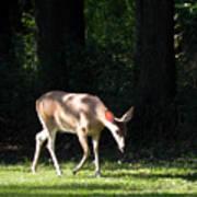Deer In Shadows Poster