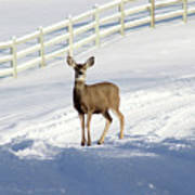 Deer In Snow Covered Road Poster