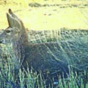 Deer Lying Down Poster