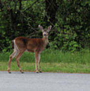 Deer On Road Poster