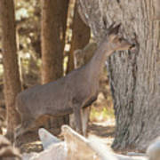 Deer On The Look Out Poster