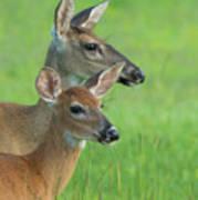 Deer Portrait Poster