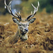 Deer Rests In Bracken Poster