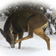 Deer With An Itch Poster