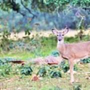 Deer50 Poster