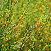 Deerweed In Rancho Santa Ana Botanic Gardens, Claremont-california Poster