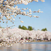 Delicate Blossoms Over The Tidal Basin Poster