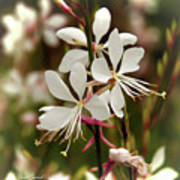 Delicate Gaura Flowers Poster