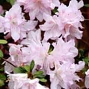 Delicate Pink Azaleas Poster by Carol Groenen