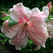 Delicate Pinks In Rain - Flower Photography Poster