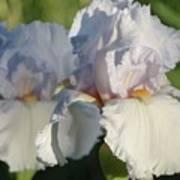 Delicate White Iris Poster