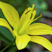 Delicate Yellow Oriental Lily Poster