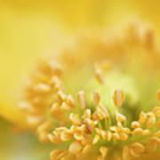 Delicate Yellow Poppy Poster